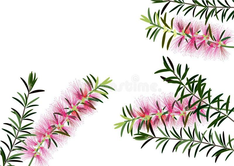 Flaskborsten blommar, eller callistemon, rosa färg blommar på vit bakgrund, vektor royaltyfri illustrationer
