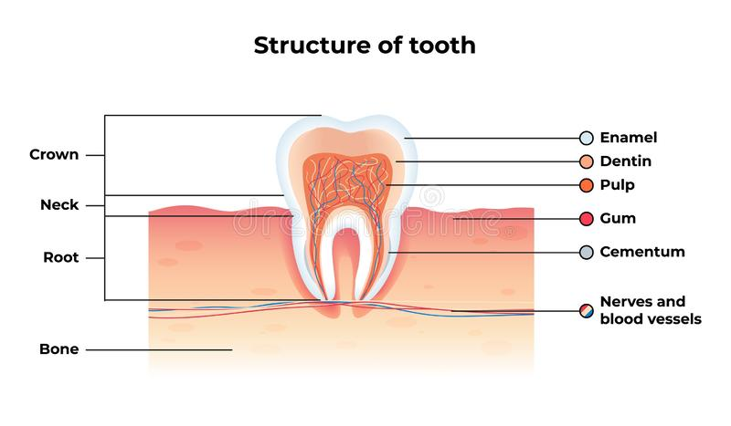 Flat Banner Vector Structure Tooth Infographics stock illustration