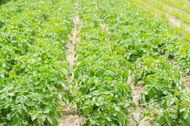 Flat beds in the field with potatoes. Green potato bushes with potato tubers .. Farmer field, organic farming of fruits and stock images