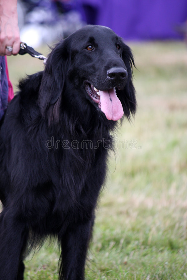 Flat Coated Retriever. Beautiful black flat coated retriever out on a walk in the country stock photos