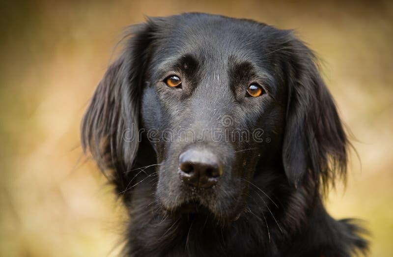Flat coated Retriever dog portrait. Flat coated Retriever dog head portrait beautiful head shot stock image