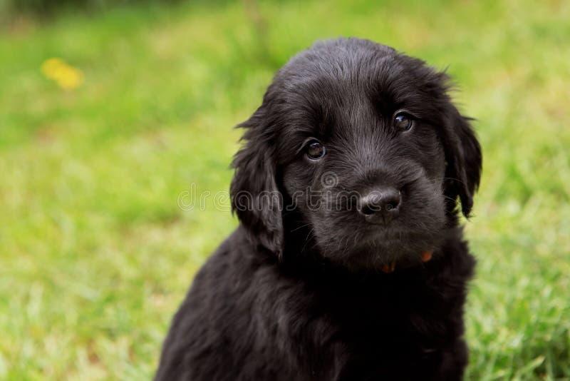 Flat coated retriever puppy. On grass royalty free stock photos