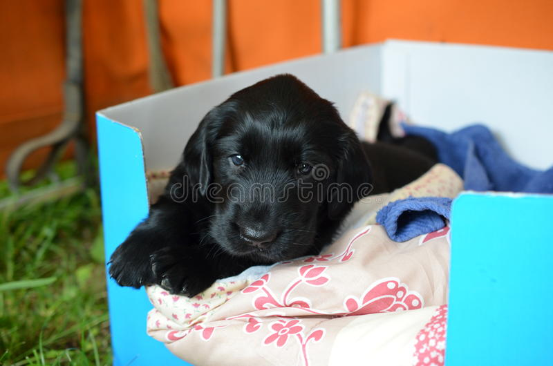 Flat coated retriever puppy. Little flat coated retriever puppy stock images