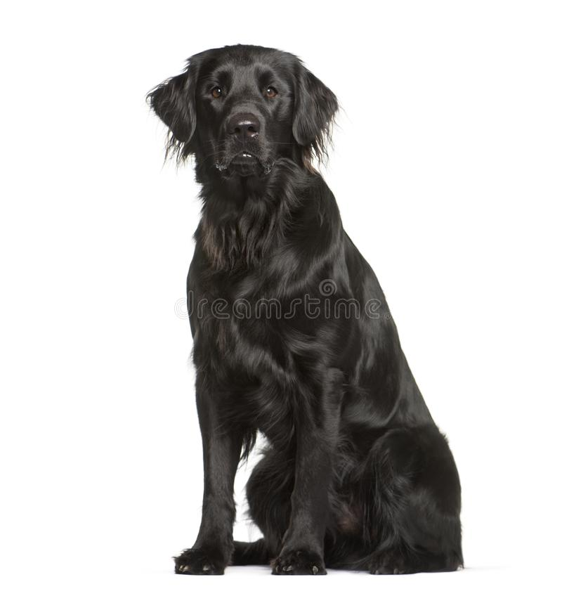 Flat Coated Retriever sitting in front of white background. Isolated on white royalty free stock photos