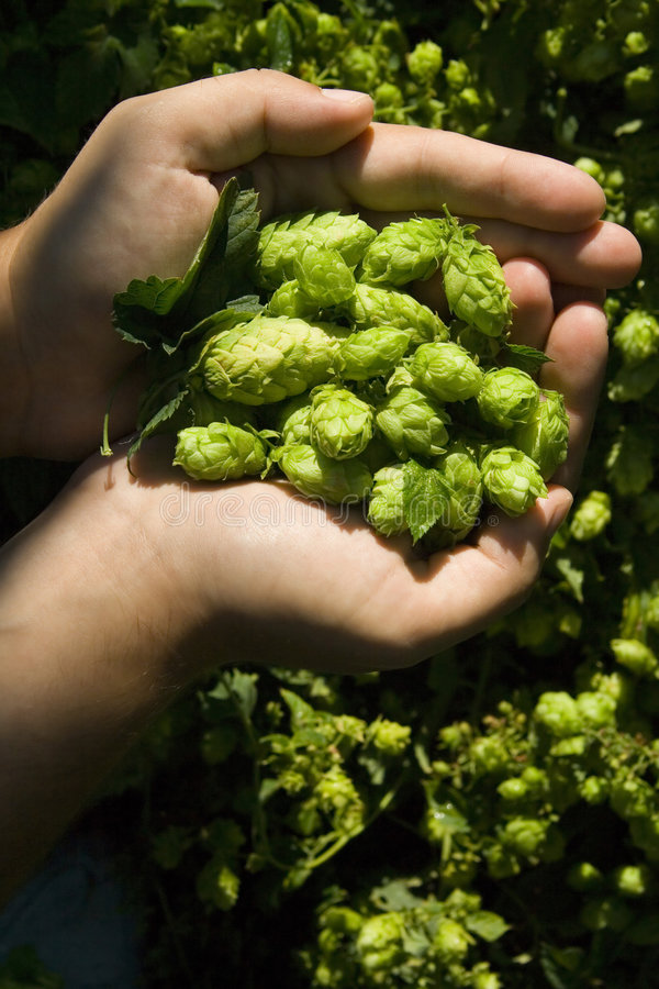Download The flat hand with hop stock image. Image of detail, traditional - 6330281