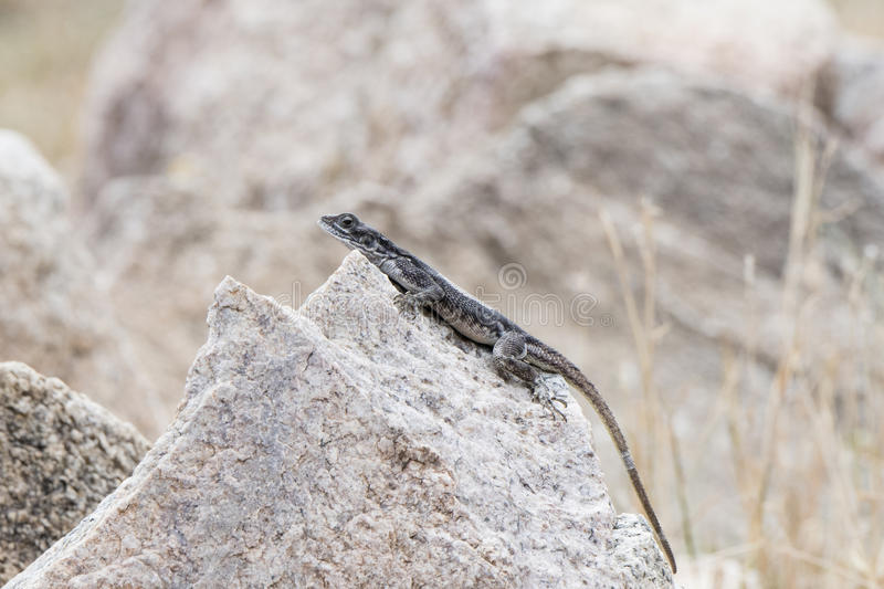 Flat-headed Rock Agama & x28;Agama mwanzae& x29; Perched on a Rock stock photography