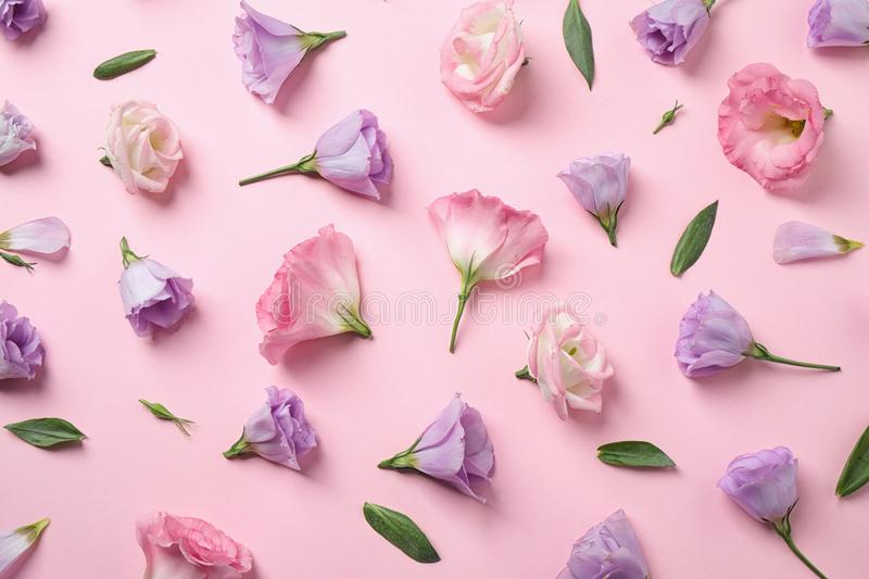 Flat lay composition with beautiful Eustoma flowers on pink royalty free stock image
