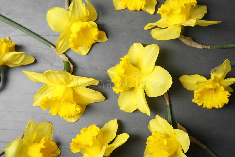 Flat lay composition with daffodils on dark. Fresh spring flowers. Flat lay composition with daffodils on dark background. Fresh spring flowers royalty free stock photos