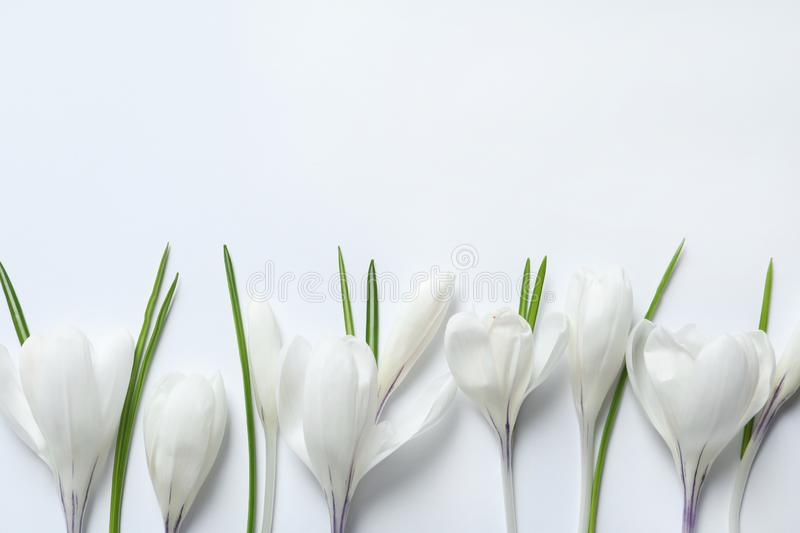 Flat lay composition with spring crocus flowers on light background. Space for text royalty free stock images