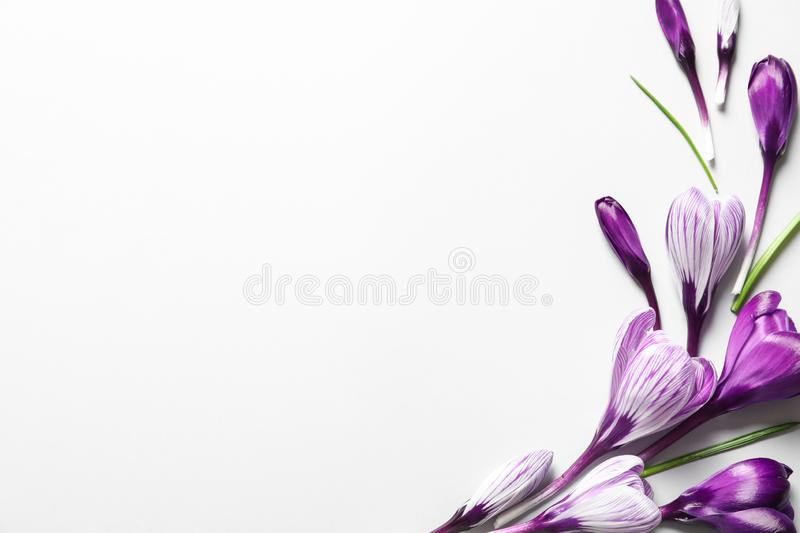 Flat lay composition with spring crocus flowers on white background stock photos