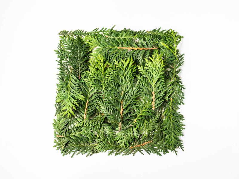 Flat lay creative natural layout square of thuja plants parts on white background. Copy space, top view royalty free stock photos