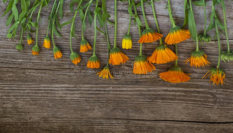 Flat lay , flowers with buds and calendula seeds on wooden background in order of withering. / royalty free stock images