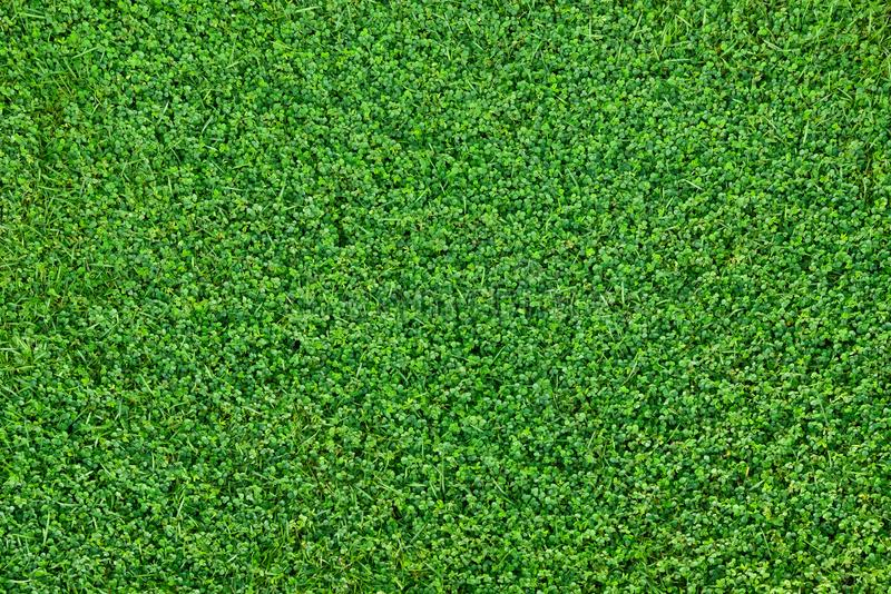 Flat lay Green small leaves texure. Flat lay top view Green small leaves texure background royalty free stock photo