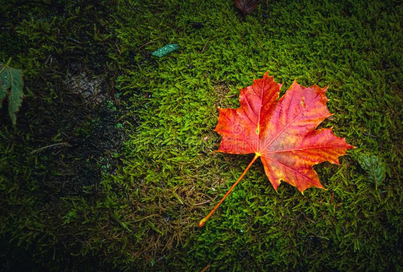 Flat lay picture of a red maple leaf, Acer platanoides L., lying on moss or natural ground. Fall or autumn seasonal concept image with copy space stock images