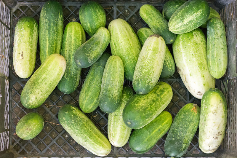 Flat lay pile of whole green cucumbers stock image