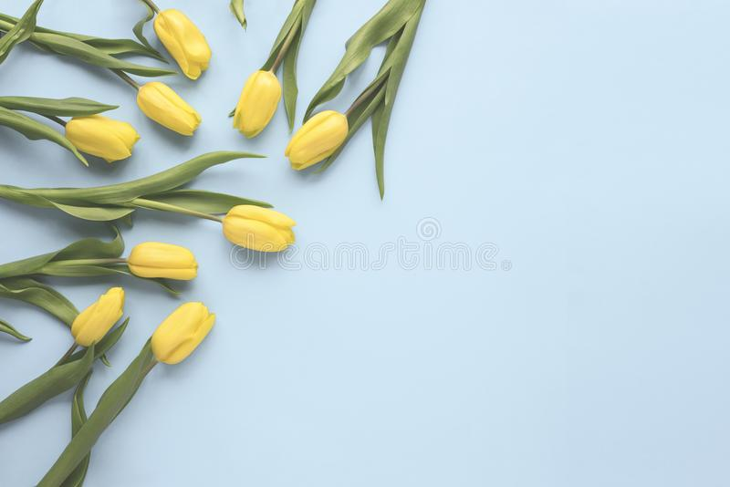 Flat lay spring flowers. Yellow tulip flowers on blue background. Top view. Minimal floral mock up concept. Add your text. stock photo