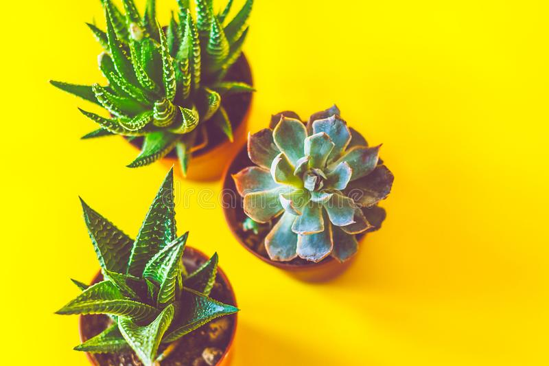 Flat layer of succulents. In a bright yellow background stock image