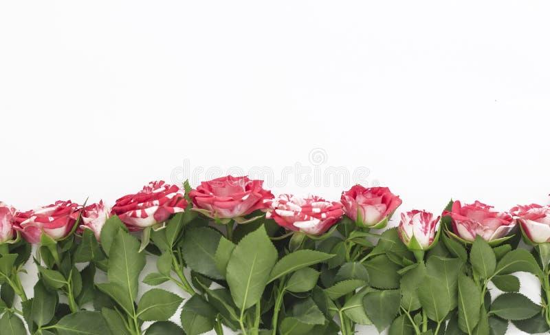 Flat layout ,beautiful roses on white background with copy space. Flat layout ,beautiful roses on white background with copy spac royalty free stock photography