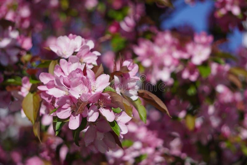 Flat met rode of roze bloemen in het voorjaar bloemen dicht, screensaver of achtergrond met de geur van de lente schitterend stock fotografie