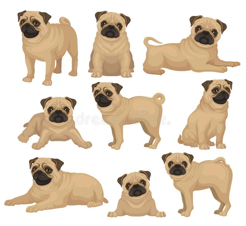 Flat vector set of pug puppy in different poses. Cute dog with short beige coat, wrinkled muzzle and curled tail. Home. Set of pug puppy in different poses. Cute vector illustration