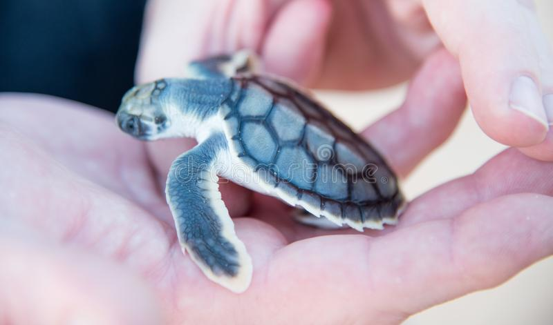 Flatback海龟小鱼苗在手上 免版税库存图片