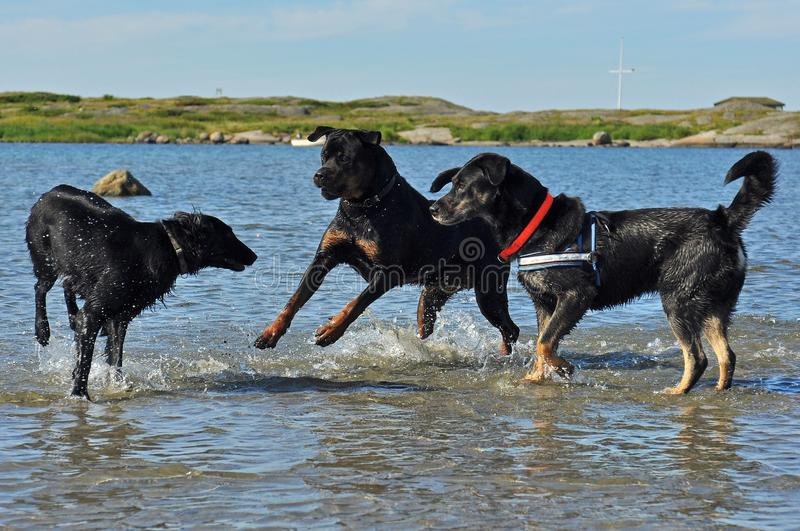 Flatcoated retriever, Rottweiler and mix dog play in the sea. A sunny summer day stock images