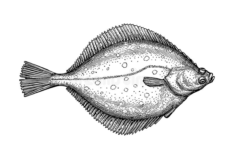 Ink sketch of flounder. Flatfish. Ink sketch of flounder. Hand drawn vector illustration isolated on white background. Retro style royalty free illustration