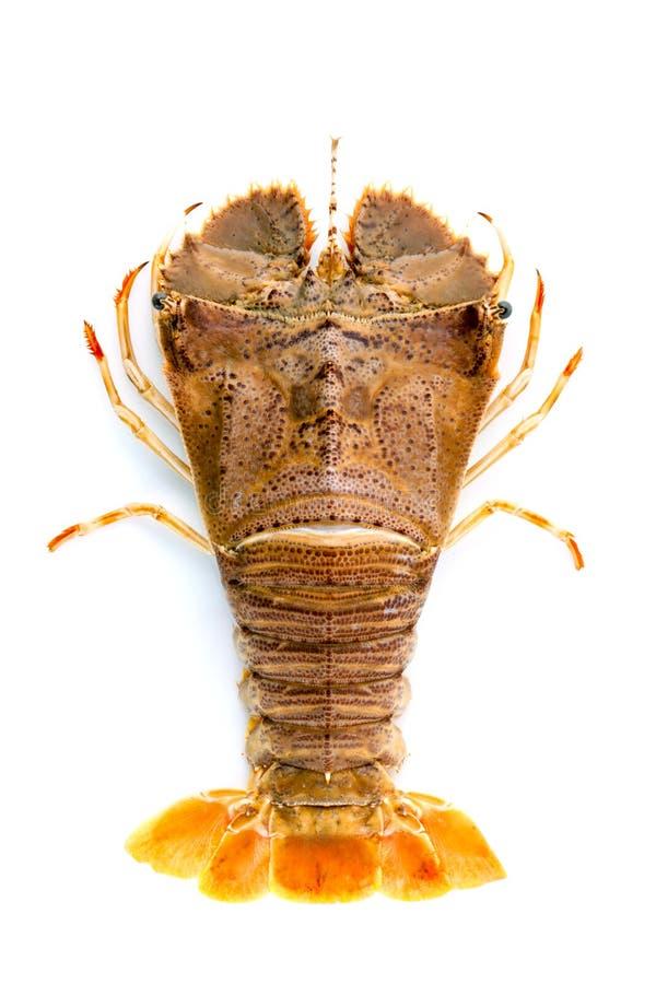 Flathead αστακός, ζωύφιο κόλπων Moreton αστακών, ασιατικό flathead lob στοκ εικόνες