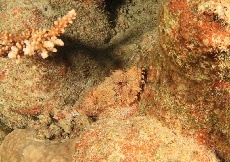 Flathead σκορπιός στοκ εικόνες