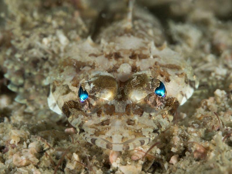 Flathead ψάρια κροκοδείλων στοκ εικόνες με δικαίωμα ελεύθερης χρήσης