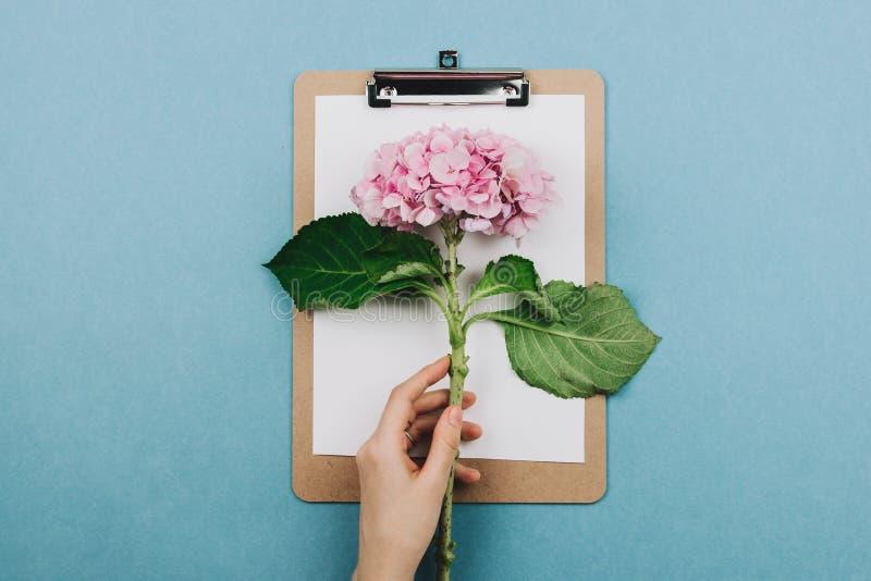 Flatlay der rosa Hortensiablume, des Klemmbrettes und der Hand der Frau stockfotografie