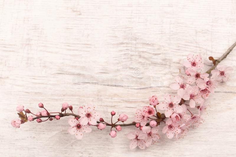 Flatlay of Japanese cherry blossom on light grey wooden underground with copy space royalty free stock photography