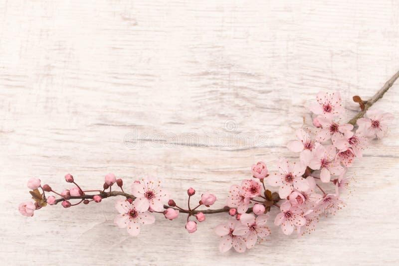 Flatlay Japoński czereśniowy okwitnięcie na jasnopopielatym drewnianym metrze z kopii przestrzenią fotografia royalty free