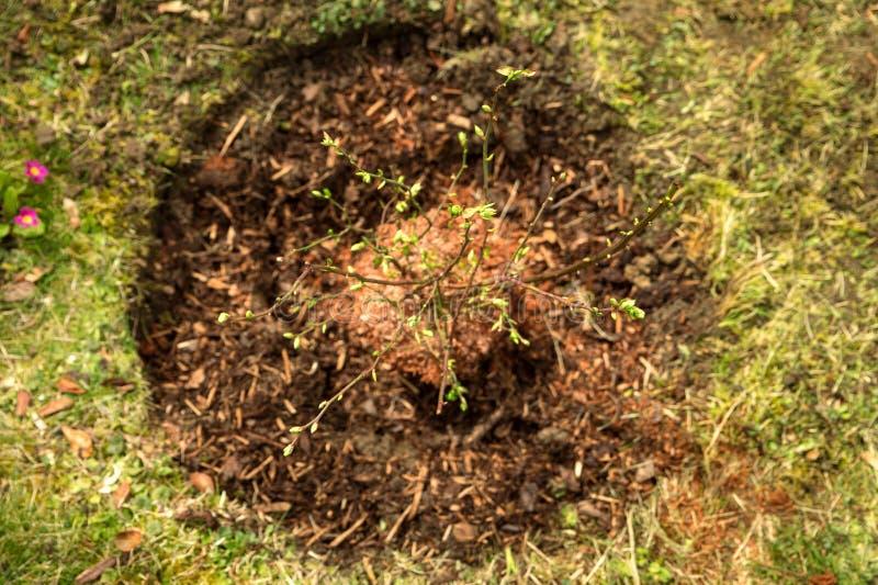 Flatlay, mały czarna jagoda krzak w ogródzie, kształtuje teren zdjęcie stock