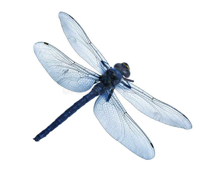 Flatlay van mooie blauwe die libel op witte achtergrond wordt geïsoleerd stock afbeeldingen