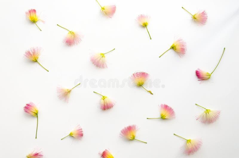 Flatlay wzór z różowymi siris kwitnie na białym tła mieszkaniu nieatutowym, odgórny widok Kwiecisty ustawiony skład obrazy stock