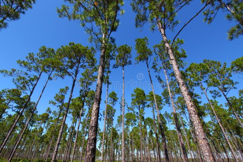 flatwoods Florida sosna fotografia stock