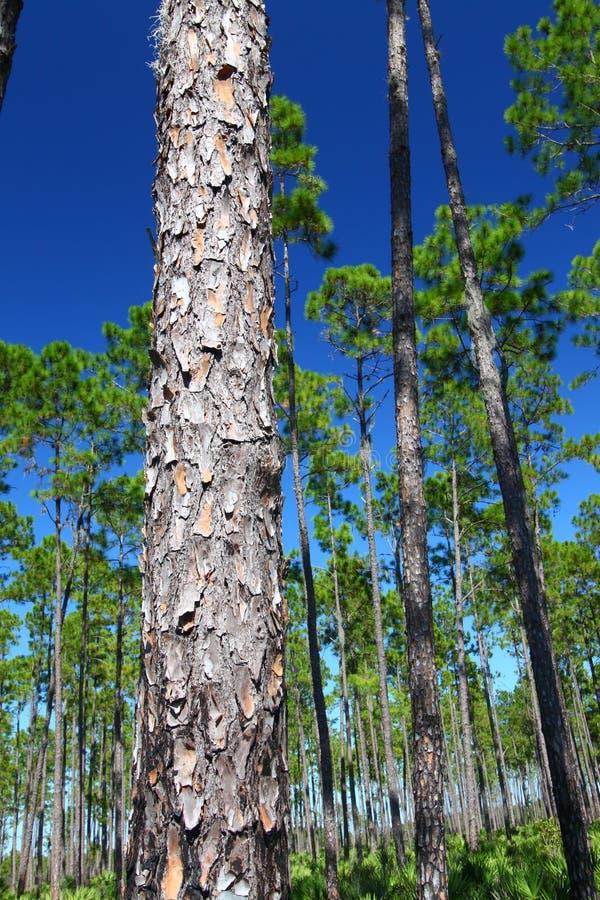 flatwoods Florida sosna zdjęcia stock