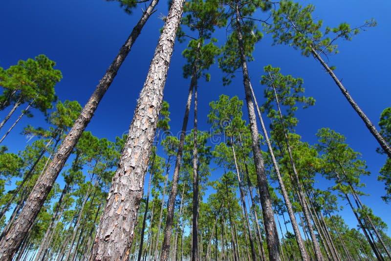 flatwoods Florida sosna obrazy stock