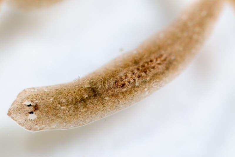 Flatworm do parasita do Planarian sob a opinião do microscópio fotografia de stock royalty free