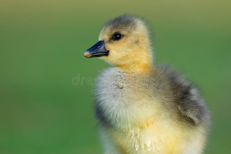 Flaumige goldene Baby-Graugans Gosling stockfotos