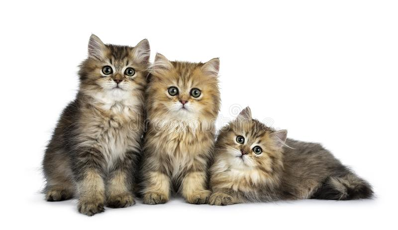 Flaumige goldene britische langhaarige Katze drei lokalisiert auf weißem Hintergrund lizenzfreie stockbilder