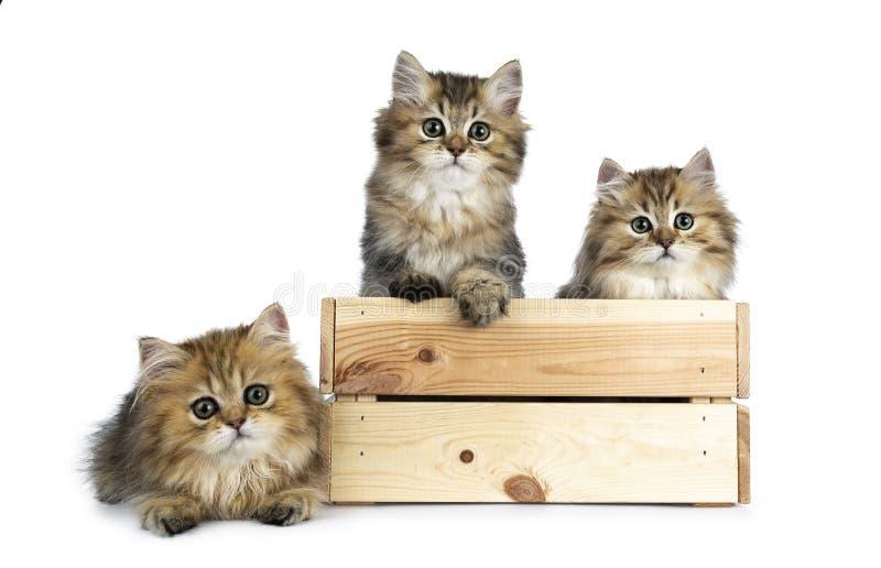 Flaumige goldene britische langhaarige Katze drei lokalisiert auf weißem Hintergrund stockfotografie