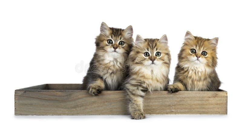 Flaumige goldene britische langhaarige Katze drei lokalisiert auf weißem Hintergrund lizenzfreie stockfotos