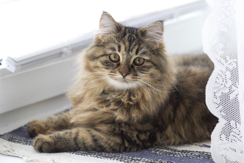 Flaumige Hauskatze der sibirischen Zucht ist auf dem Fenster stockfoto