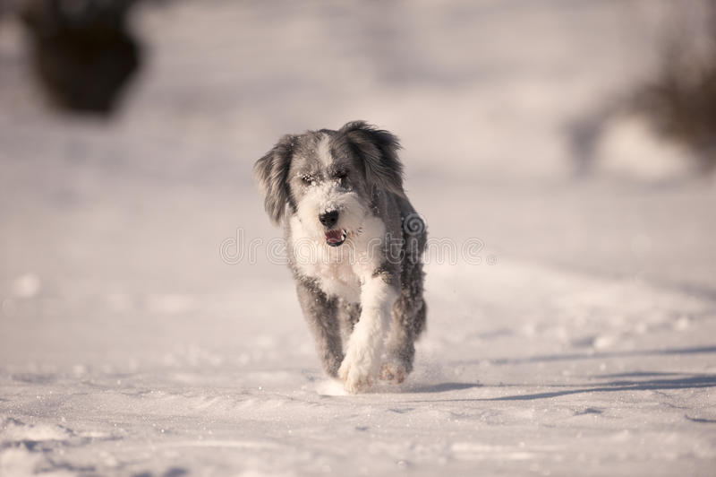 Flaumige Hundebearded collie, die in den Schnee läuft stockbild