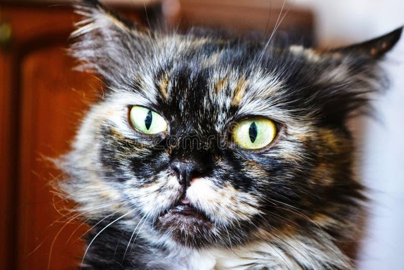 Flaumige Katze Ausdrucksvolle Augen Vollbl?tige Katze Katze ` s Gesichtsnahaufnahme Sch?ne Katze Ein Haustier Sch?ner Hintergrund lizenzfreie stockfotos