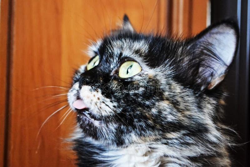 Flaumige Katze Ausdrucksvolle Augen Vollbl?tige Katze Katze ` s Gesichtsnahaufnahme Sch?ne Katze Ein Haustier Sch?ner Hintergrund lizenzfreies stockfoto