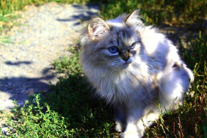 Flaumige Katze der Kaffeefarbe lizenzfreie stockfotos