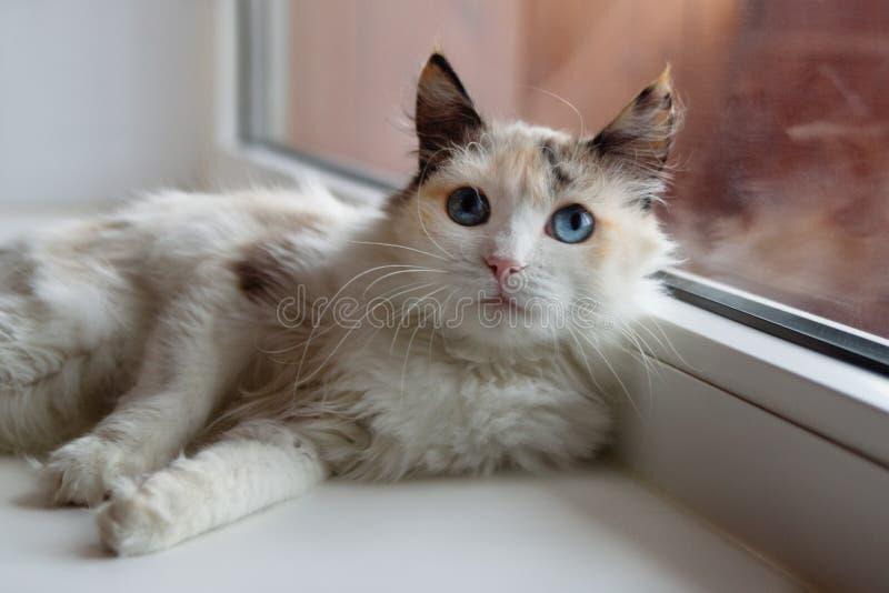Flaumige Katze des schönen Schildpatts mit den blauen Augen, die nahe zu einem Fenster liegen lizenzfreies stockbild